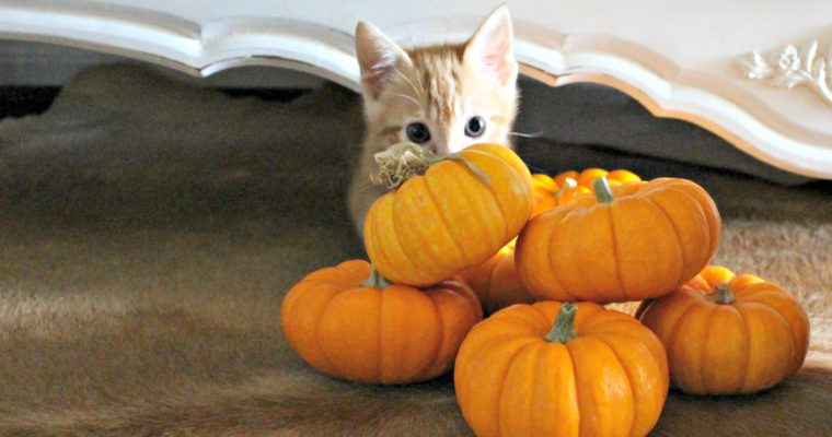 Meet Pumpkin! + DIY BOO Kit for Your Pets!